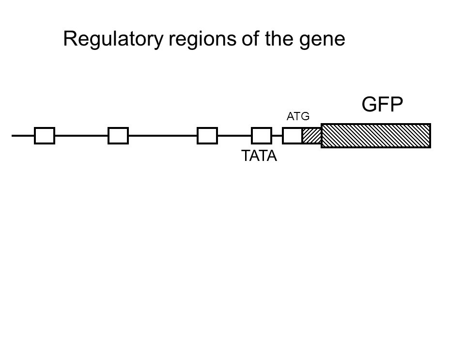 ATG GFP TATA Regulatory regions of the gene