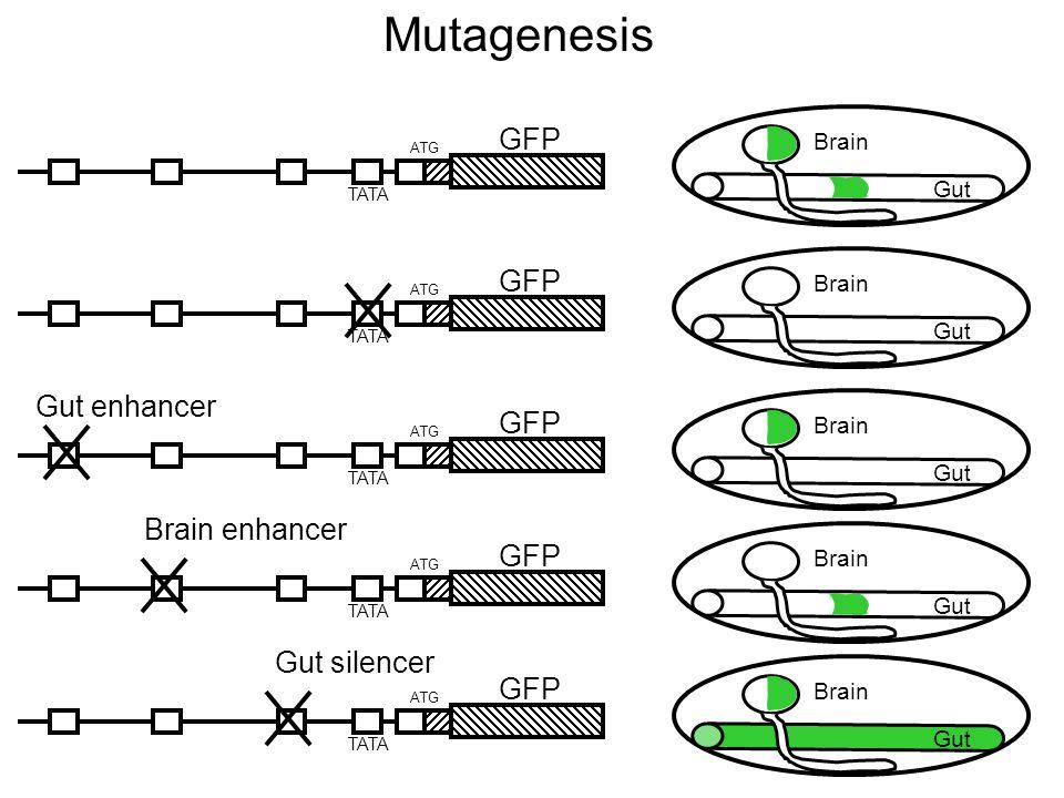 ATG GFP TATA ATG GFP TATA ATG GFP TATA ATG GFP TATA ATG GFP TATA Mutagenesis Gut Brain Gut Brain Gut Brain Gut Brain Gut Brain Gut enhancer Brain enhancer Gut silencer