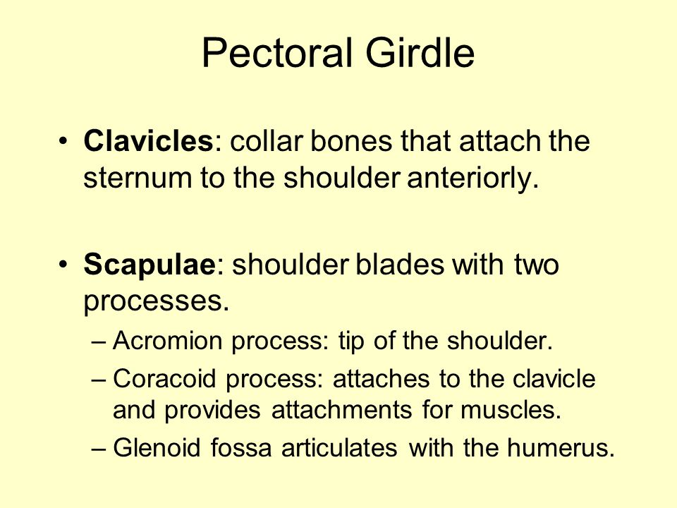 Pectoral Girdle Clavicles: collar bones that attach the sternum to the shoulder anteriorly. Scapulae: shoulder blades with two processes. –Acromion pr