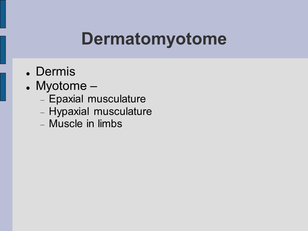 Dermatomyotome Dermis Myotome –  Epaxial musculature  Hypaxial musculature  Muscle in limbs