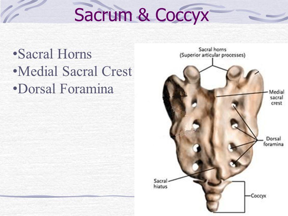 Sacrum & Coccyx Sacral Horns Medial Sacral Crest Dorsal Foramina