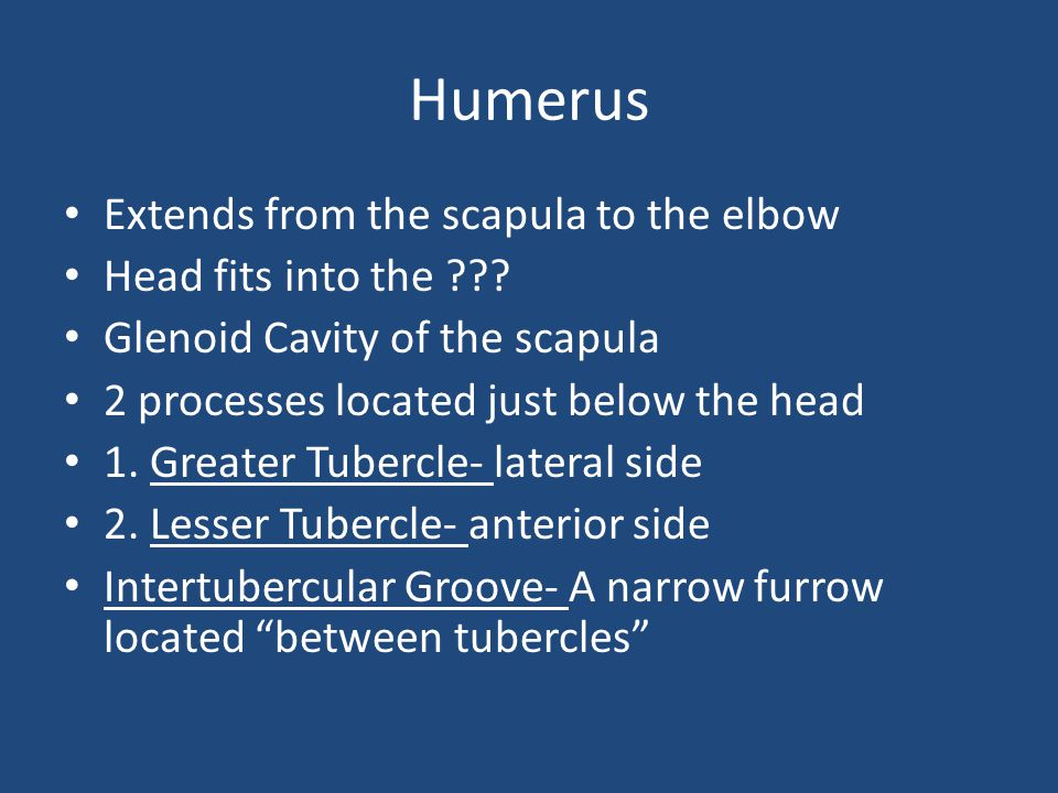 Humerus Extends from the scapula to the elbow Head fits into the ??? Glenoid Cavity of the scapula 2 processes located just below the head 1. Greater