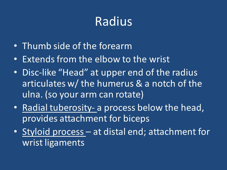 "Radius Thumb side of the forearm Extends from the elbow to the wrist Disc-like ""Head"" at upper end of the radius articulates w/ the humerus & a notch"