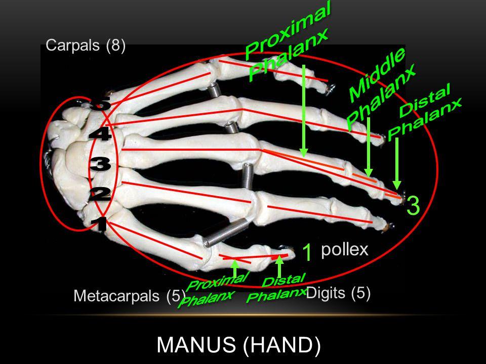 MANUS (HAND) Metacarpals (5) Carpals (8) Digits (5) 3 1 pollex