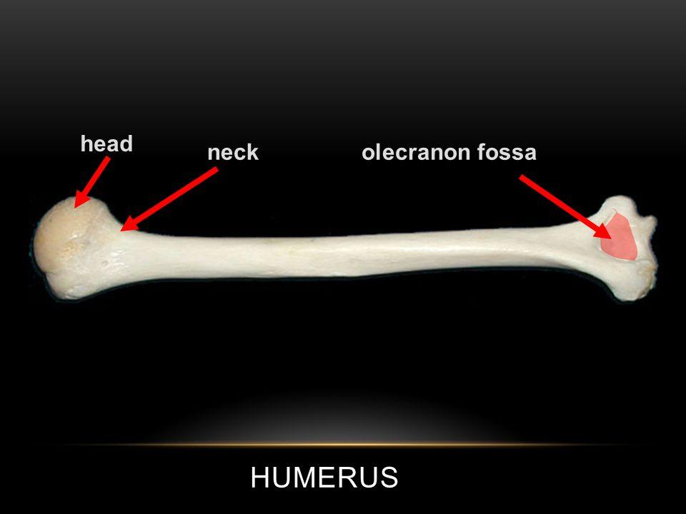 HUMERUS head neckolecranon fossa