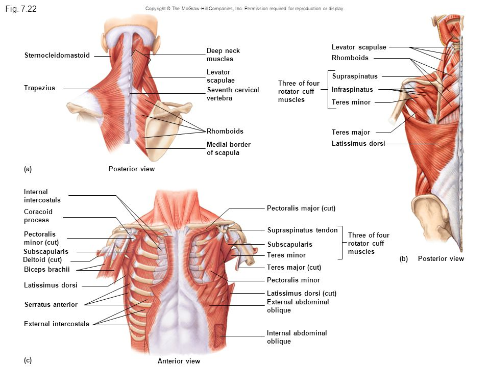 Fig. 7.22 Copyright © The McGraw-Hill Companies, Inc. Permission required for reproduction or display. Sternocleidomastoid Trapezius (a)Posterior view