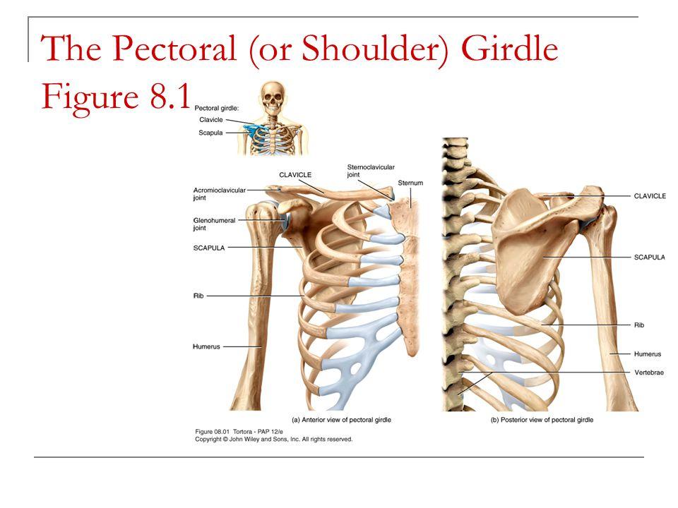 Right Hip Bone Figure 8.10