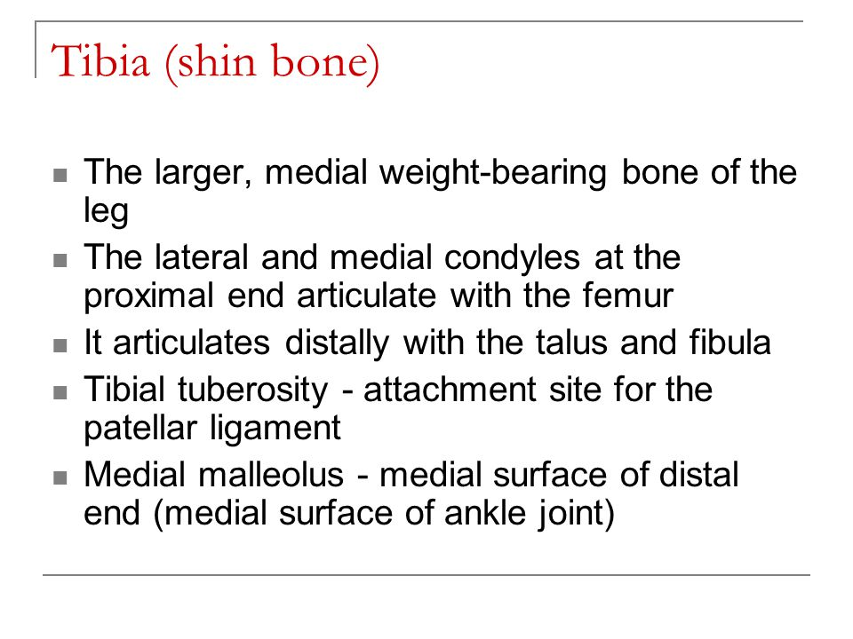 Tibia (shin bone) The larger, medial weight-bearing bone of the leg The lateral and medial condyles at the proximal end articulate with the femur It a