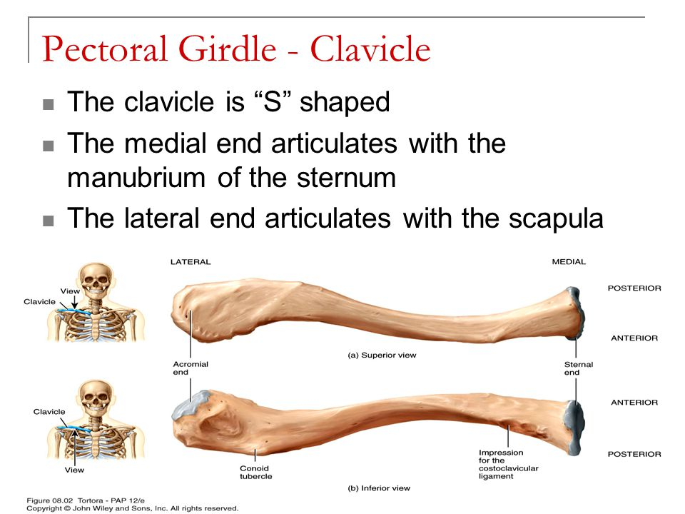 "Pectoral Girdle - Clavicle The clavicle is ""S"" shaped The medial end articulates with the manubrium of the sternum The lateral end articulates with th"