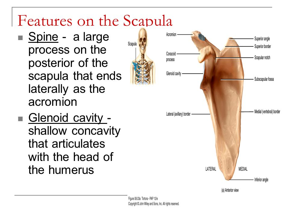 Features on the Scapula Acromion process –articulates with clavicle Coracoid process Subscapular fossa - anterior concavity where the subscapularis muscle attaches