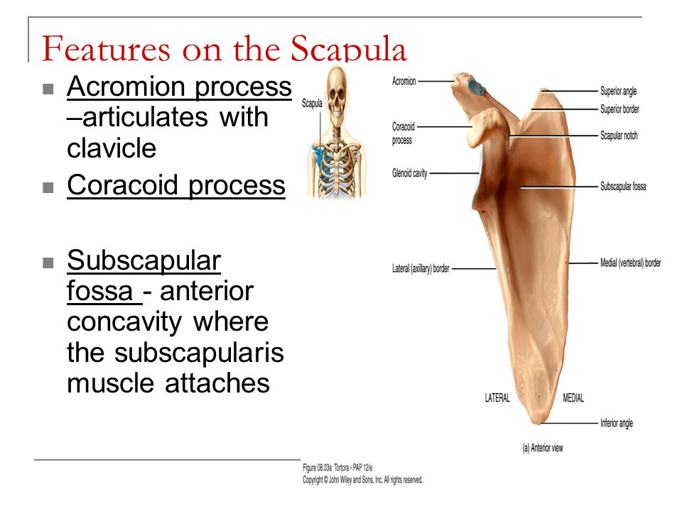 Features on the Scapula Acromion process –articulates with clavicle Coracoid process Subscapular fossa - anterior concavity where the subscapularis mu