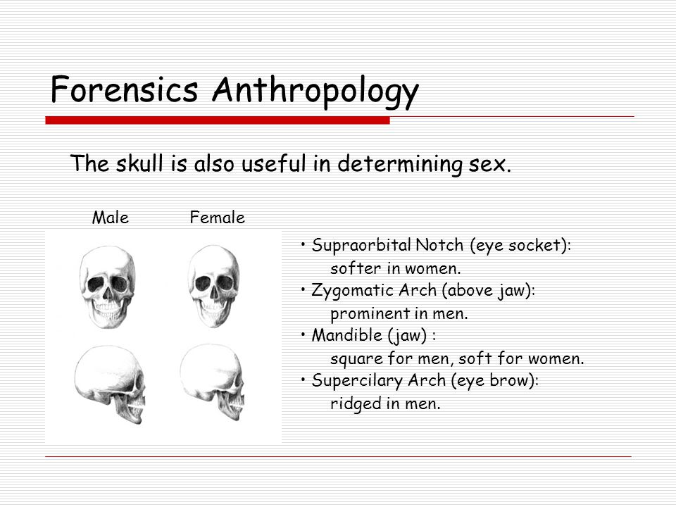 Forensics Anthropology The skull is also useful in determining sex.