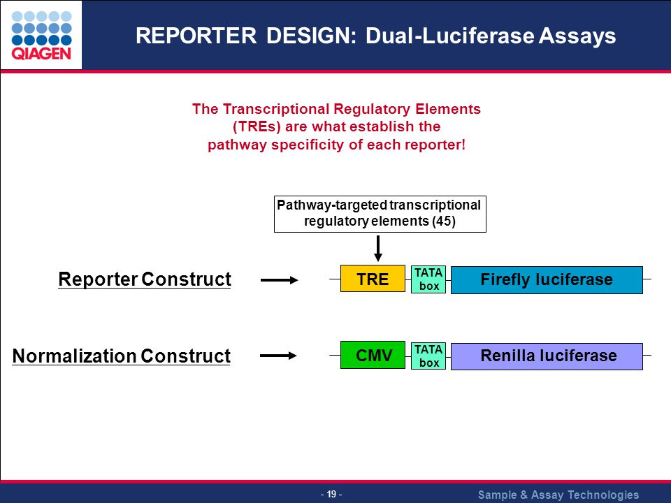Sample & Assay Technologies - 19 - REPORTER DESIGN: Dual-Luciferase Assays Reporter Construct Firefly luciferase TATA box TRERenilla luciferase TATA box CMV Normalization Construct Pathway-targeted transcriptional regulatory elements (45) The Transcriptional Regulatory Elements (TREs) are what establish the pathway specificity of each reporter!