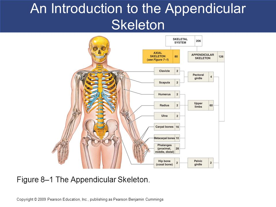Copyright © 2009 Pearson Education, Inc., publishing as Pearson Benjamin Cummings An Introduction to the Appendicular Skeleton Figure 8–1 The Appendicular Skeleton.