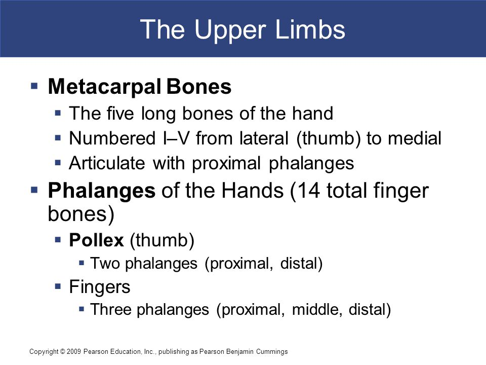 Copyright © 2009 Pearson Education, Inc., publishing as Pearson Benjamin Cummings The Upper Limbs  Metacarpal Bones  The five long bones of the hand