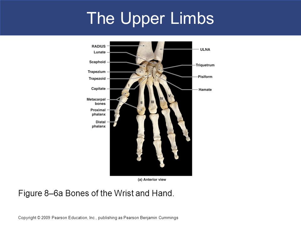 Copyright © 2009 Pearson Education, Inc., publishing as Pearson Benjamin Cummings The Upper Limbs Figure 8–6a Bones of the Wrist and Hand.