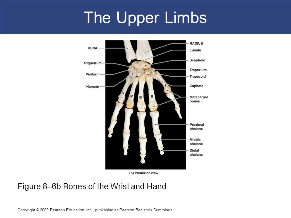 Copyright © 2009 Pearson Education, Inc., publishing as Pearson Benjamin Cummings The Upper Limbs Figure 8–6b Bones of the Wrist and Hand.