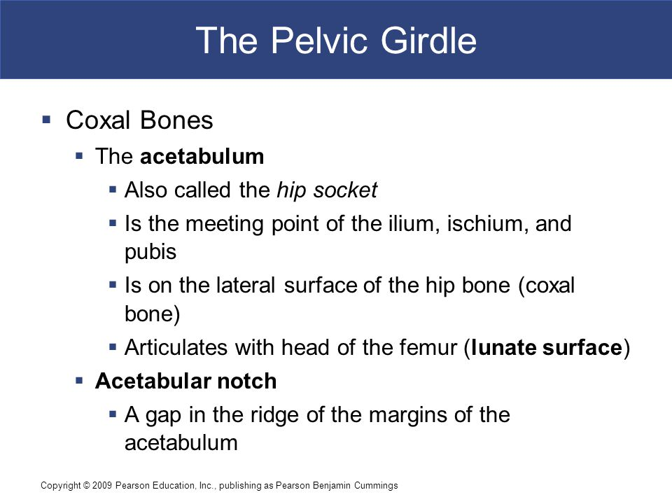 Copyright © 2009 Pearson Education, Inc., publishing as Pearson Benjamin Cummings The Pelvic Girdle  Coxal Bones  The acetabulum  Also called the h