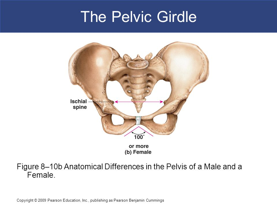 Copyright © 2009 Pearson Education, Inc., publishing as Pearson Benjamin Cummings The Pelvic Girdle Figure 8–10b Anatomical Differences in the Pelvis