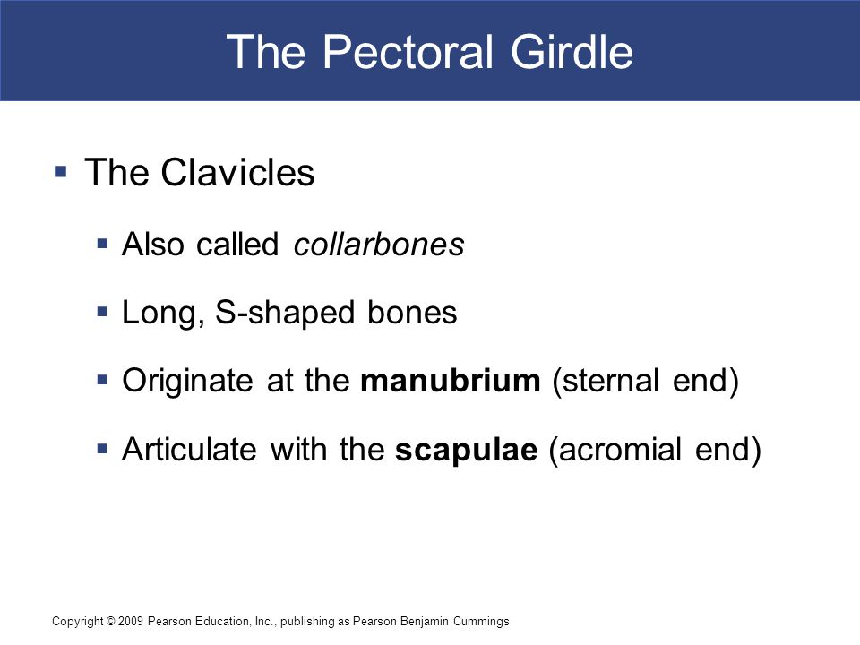 Copyright © 2009 Pearson Education, Inc., publishing as Pearson Benjamin Cummings The Pectoral Girdle Figure 8–2 The Clavicle.