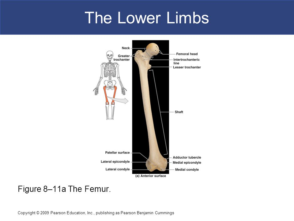 Copyright © 2009 Pearson Education, Inc., publishing as Pearson Benjamin Cummings The Lower Limbs Figure 8–11a The Femur.