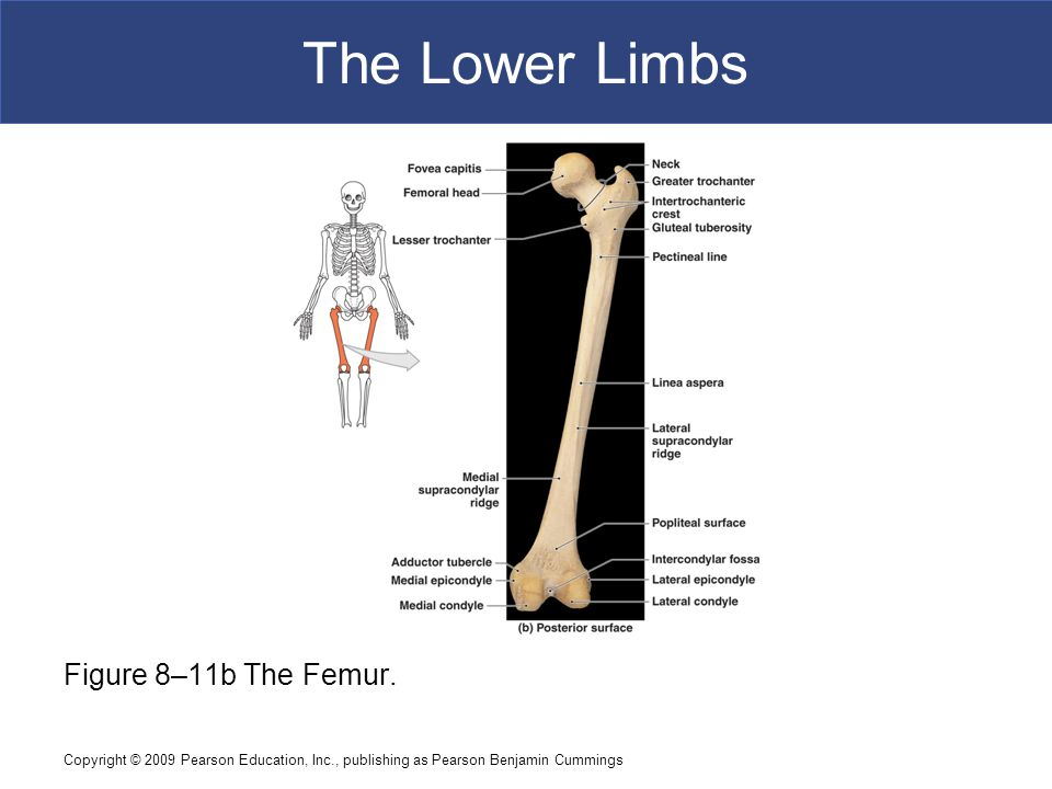 Copyright © 2009 Pearson Education, Inc., publishing as Pearson Benjamin Cummings The Lower Limbs Figure 8–11b The Femur.