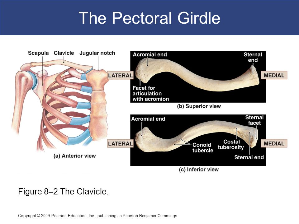 Copyright © 2009 Pearson Education, Inc., publishing as Pearson Benjamin Cummings The Lower Limbs  The Femur  The shaft  Linea aspera: –most prominent ridge of shaft –attaches hip muscles –joins epicondyles  The distal epiphysis  Medial epicondyle and lateral epicondyle: –above the knee joint  Medial condyle and lateral condyle: –separated by intercondylar fossa and patellar surface –form part of knee joint