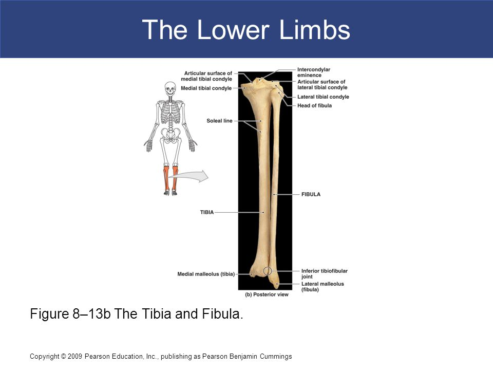 Copyright © 2009 Pearson Education, Inc., publishing as Pearson Benjamin Cummings The Lower Limbs Figure 8–13b The Tibia and Fibula.