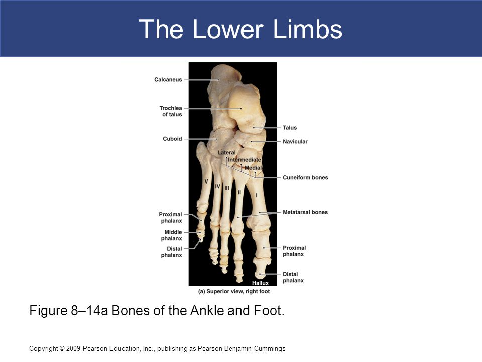 Copyright © 2009 Pearson Education, Inc., publishing as Pearson Benjamin Cummings The Lower Limbs Figure 8–14a Bones of the Ankle and Foot.