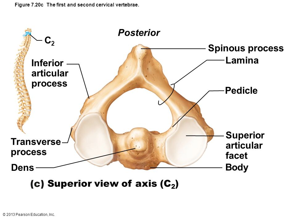 © 2013 Pearson Education, Inc. Figure 7.20c The first and second cervical vertebrae. Posterior Inferior articular process Transverse process Dens Spin