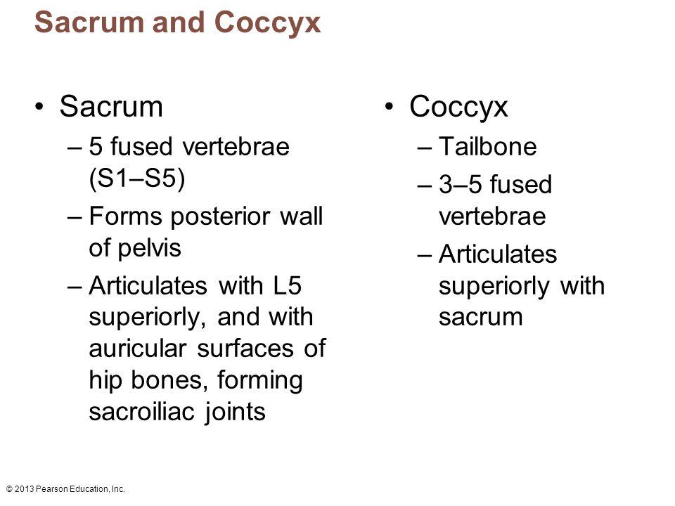 © 2013 Pearson Education, Inc. Coccyx –Tailbone –3–5 fused vertebrae –Articulates superiorly with sacrum Sacrum and Coccyx Sacrum –5 fused vertebrae (