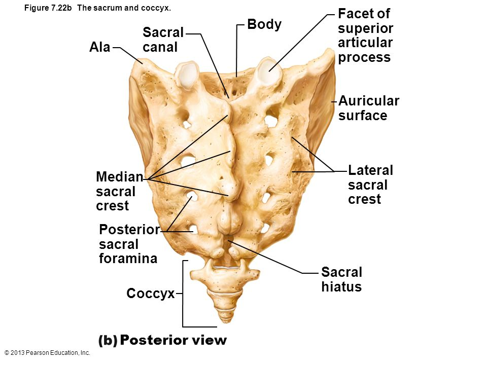© 2013 Pearson Education, Inc. Figure 7.22b The sacrum and coccyx. Ala Sacral canal Body Facet of superior articular process Auricular surface Lateral