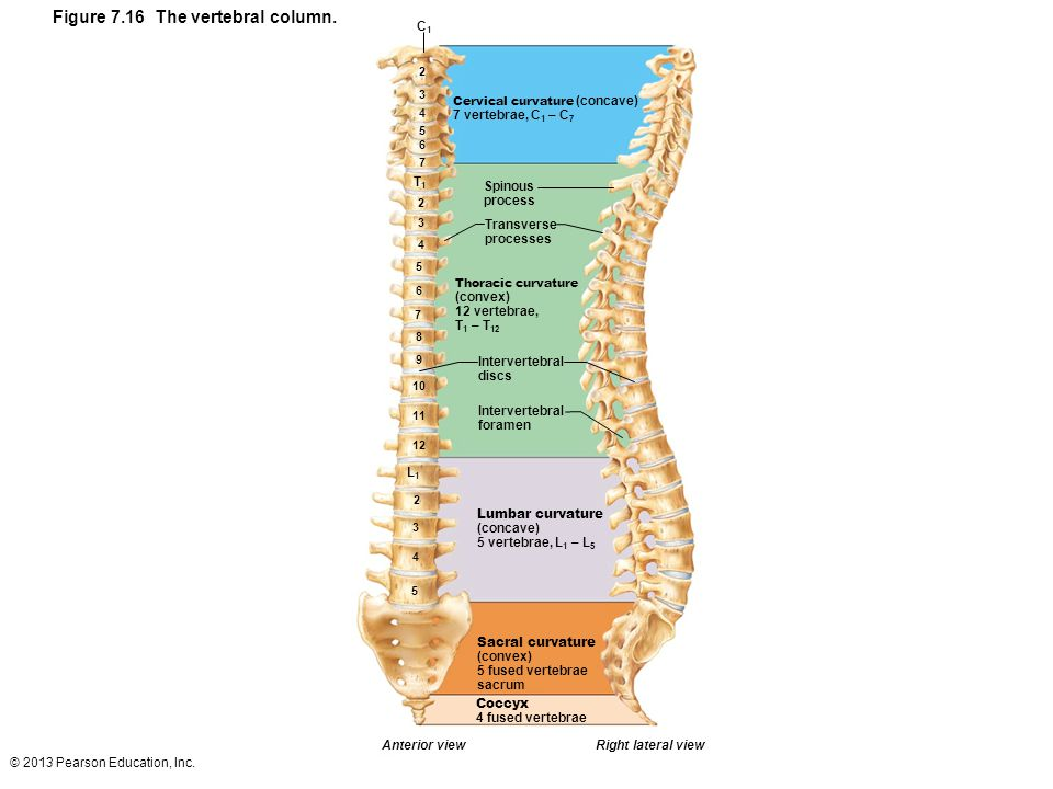 © 2013 Pearson Education, Inc.Figure 7.23b The thoracic cage.