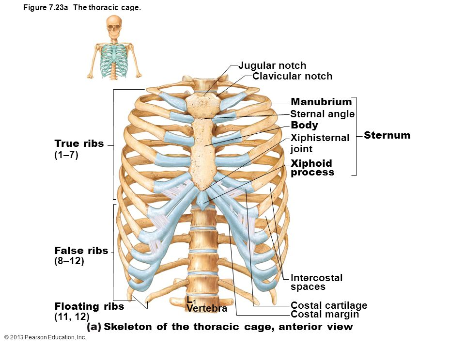© 2013 Pearson Education, Inc. Figure 7.23a The thoracic cage. Jugular notch Clavicular notch Manubrium Sternal angle Body Xiphisternal joint Xiphoid