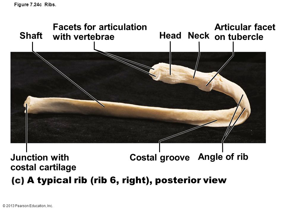© 2013 Pearson Education, Inc. Figure 7.24c Ribs. Shaft Facets for articulation with vertebrae Head Neck Articular facet on tubercle Angle of rib Cost