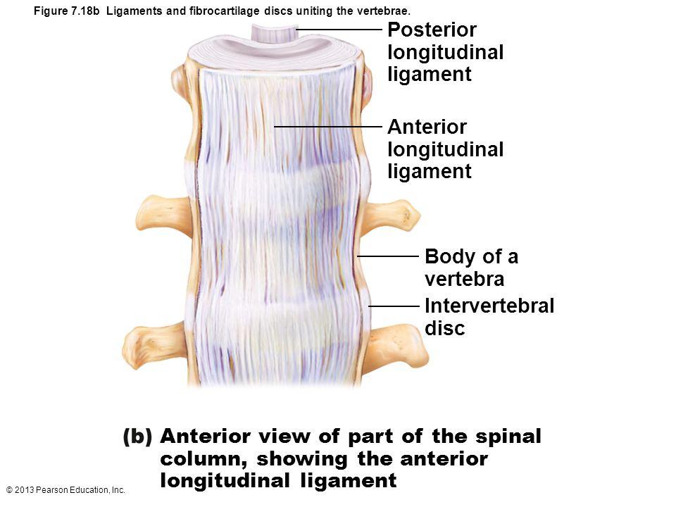 © 2013 Pearson Education, Inc. Figure 7.18b Ligaments and fibrocartilage discs uniting the vertebrae. Posterior longitudinal ligament Anterior longitu