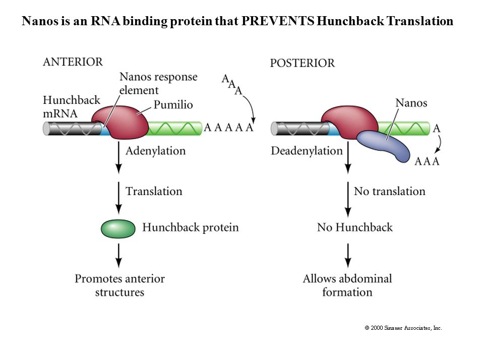 Nanos is an RNA binding protein that PREVENTS Hunchback Translation
