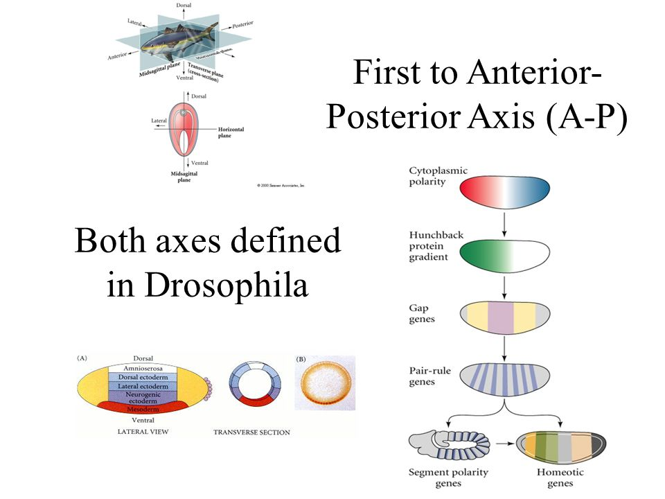 Both axes defined in Drosophila First to Anterior- Posterior Axis (A-P)