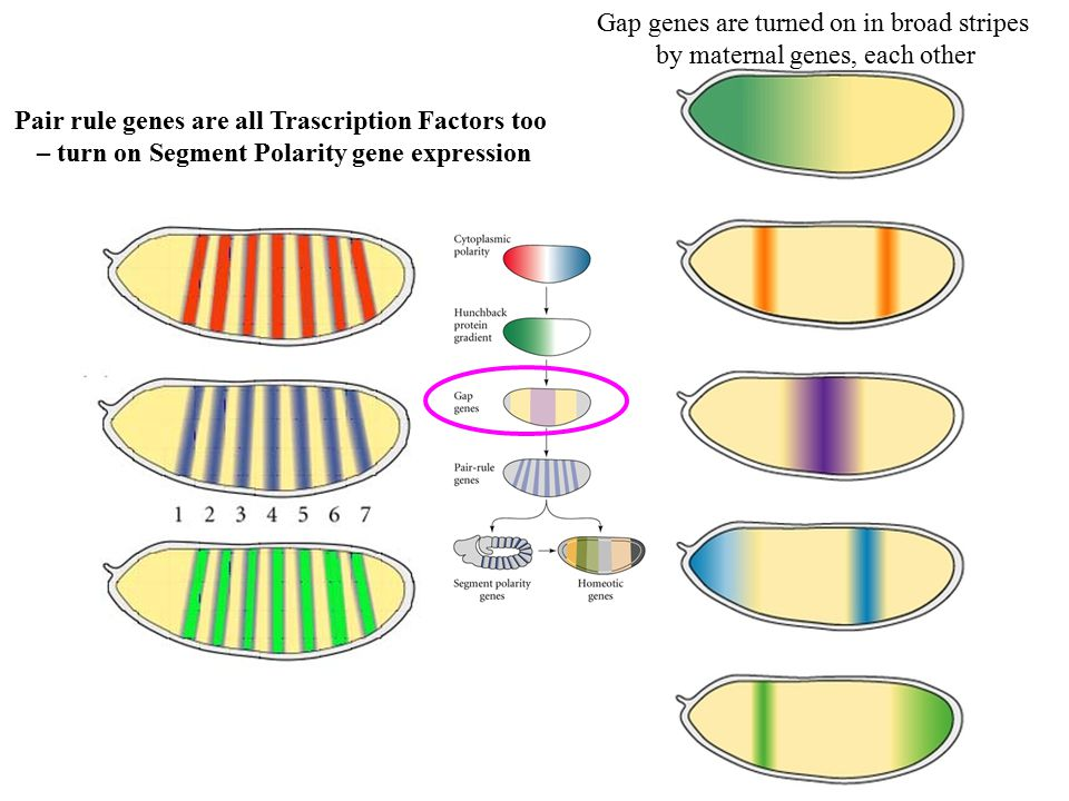 Gap genes are turned on in broad stripes by maternal genes, each other Pair rule genes are all Trascription Factors too – turn on Segment Polarity gene expression
