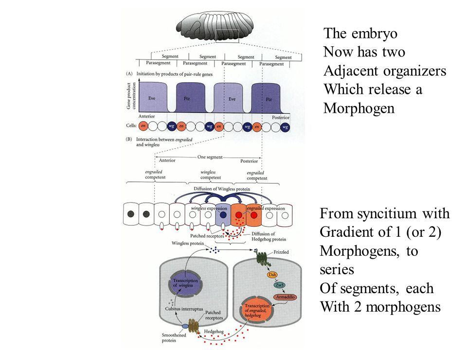 The embryo Now has two Adjacent organizers Which release a Morphogen From syncitium with Gradient of 1 (or 2) Morphogens, to series Of segments, each With 2 morphogens