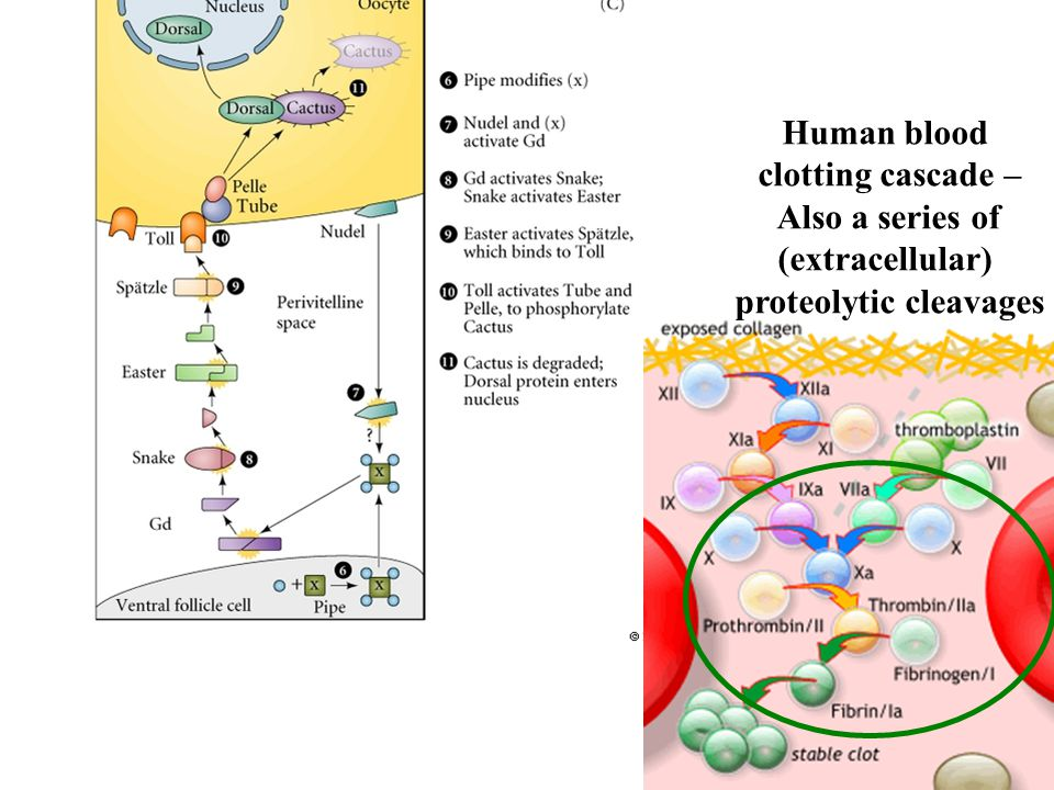Human blood clotting cascade – Also a series of (extracellular) proteolytic cleavages