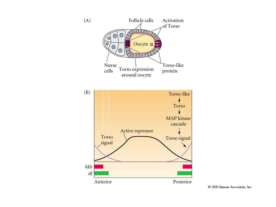 hh hh Two morphogens/ligands/organizers in adjacent cells