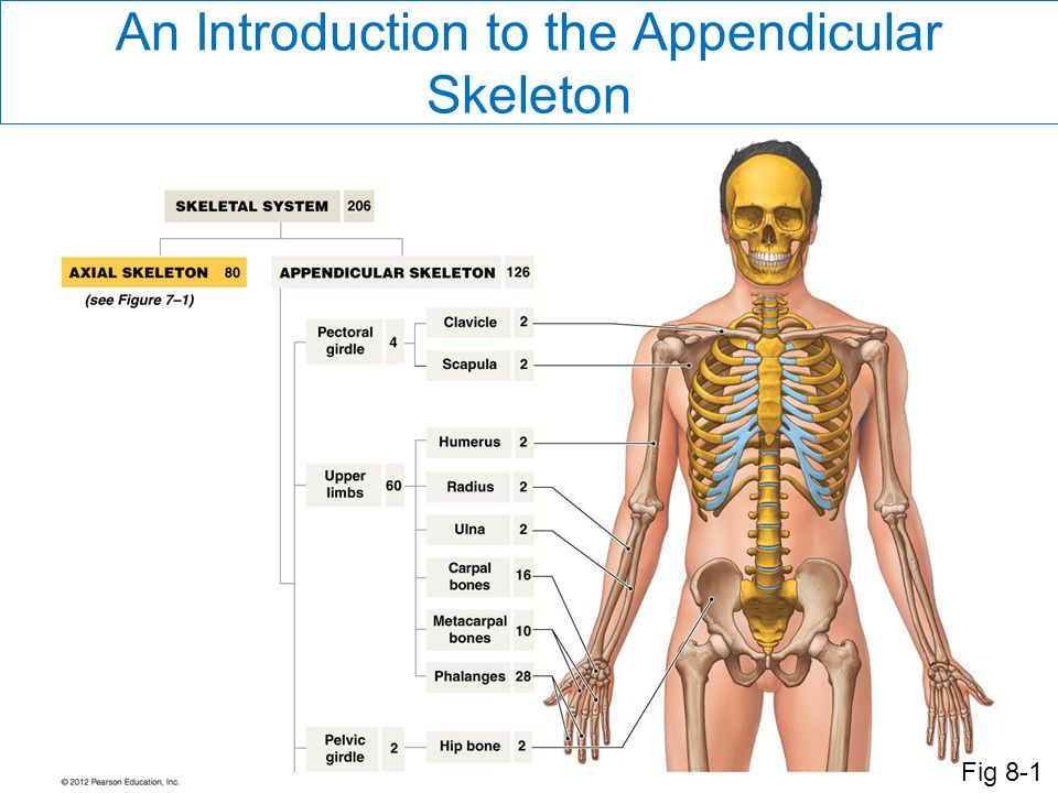 An Introduction to the Appendicular Skeleton Fig 8-1