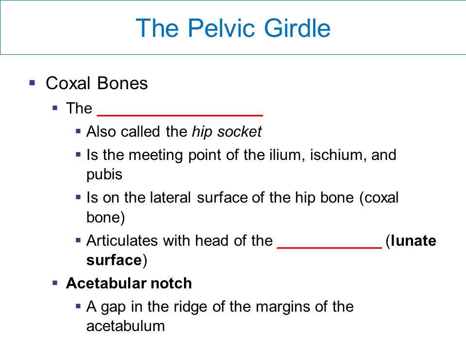The Pelvic Girdle  Coxal Bones  The ___________________  Also called the hip socket  Is the meeting point of the ilium, ischium, and pubis  Is on the lateral surface of the hip bone (coxal bone)  Articulates with head of the ____________ (lunate surface)  Acetabular notch  A gap in the ridge of the margins of the acetabulum