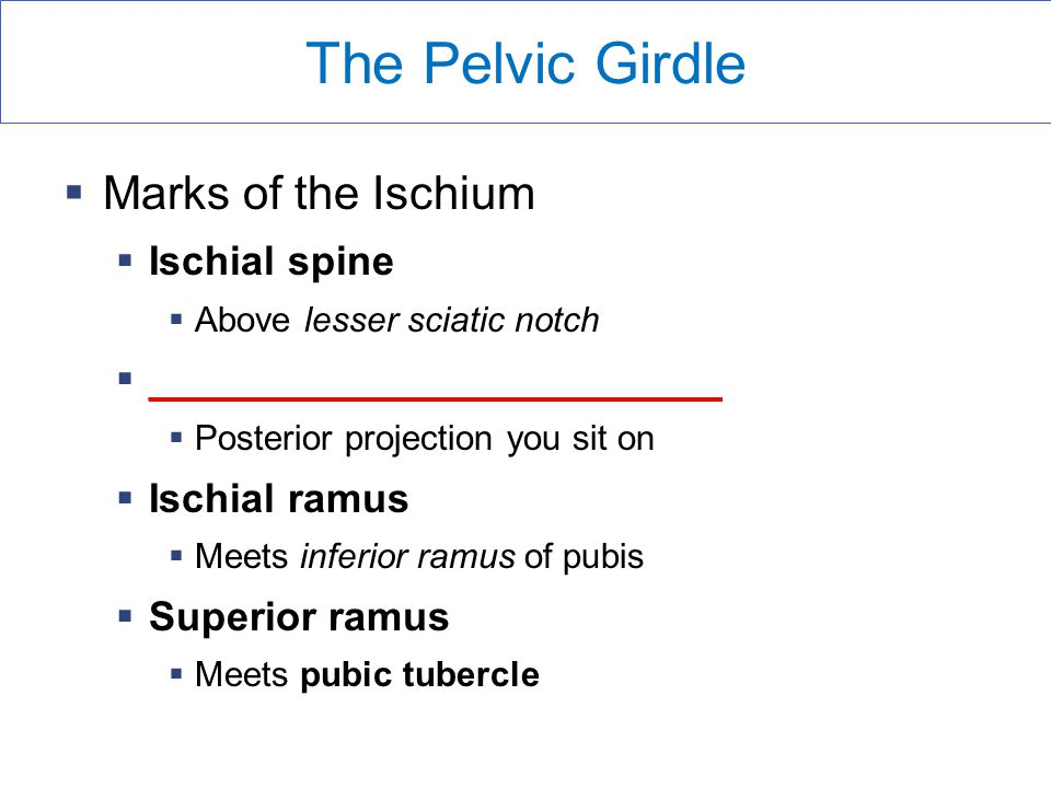 The Pelvic Girdle  Marks of the Ischium  Ischial spine  Above lesser sciatic notch  _________________________  Posterior projection you sit on  Ischial ramus  Meets inferior ramus of pubis  Superior ramus  Meets pubic tubercle