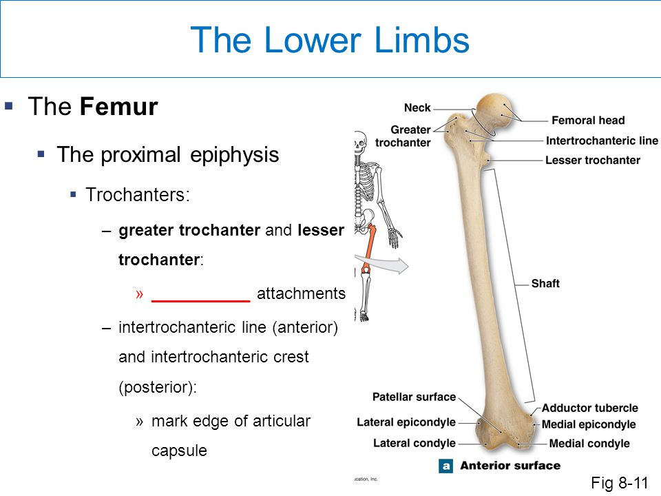 The Lower Limbs  The Femur  The proximal epiphysis  Trochanters: –greater trochanter and lesser trochanter: »___________ attachments –intertrochanteric line (anterior) and intertrochanteric crest (posterior): »mark edge of articular capsule Fig 8-11