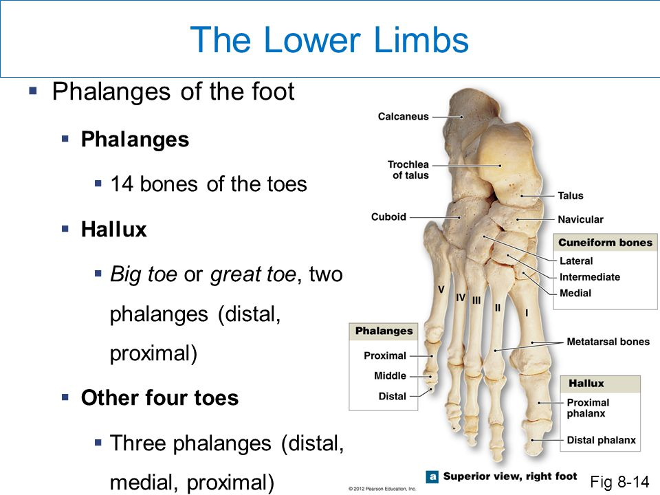 The Lower Limbs  Phalanges of the foot  Phalanges  14 bones of the toes  Hallux  Big toe or great toe, two phalanges (distal, proximal)  Other four toes  Three phalanges (distal, medial, proximal) Fig 8-14