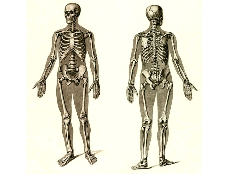 25 Long bones are tubular (e.g., the humerus in the arm).