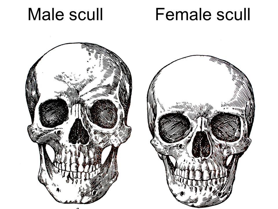 27 The types of bones