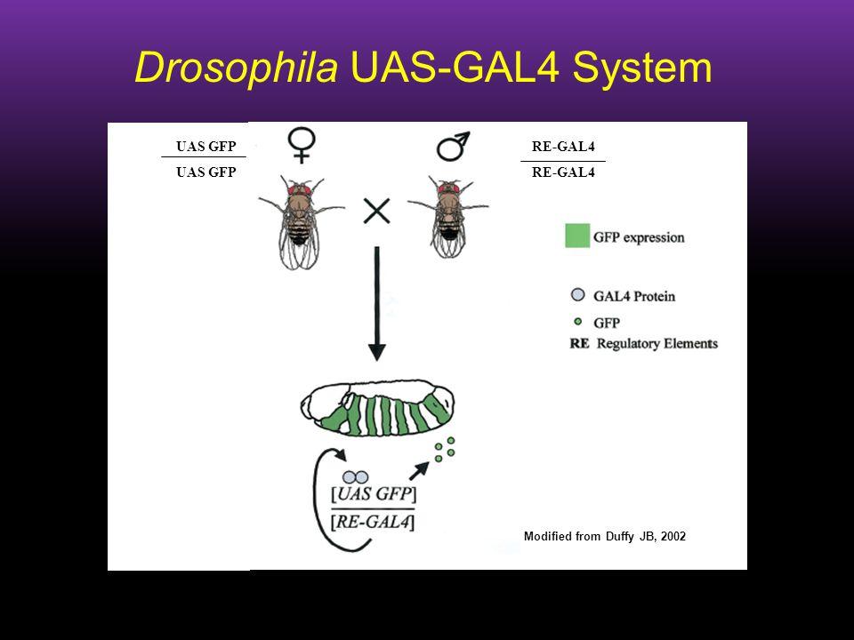 Drosophila UAS-GAL4 System RE-GAL4 Modified from Duffy JB, 2002 UAS GFP